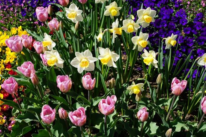 daffodils-1387375_1280